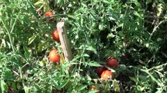 Bed of tomatos Stock Footage