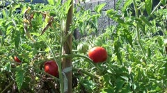 Bunch of tomatos Stock Footage