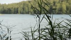 Reed (Phragmites australis) Stock Footage