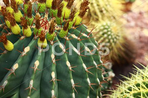 Stock photo of close up of globe shaped cactus with long thorns