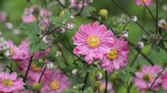 Japanese anemone (Anemone hupehensis var. japonica 'Pamina') Stock Footage