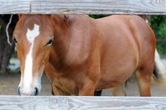 Chestnut horse behind the fence Stock Photos