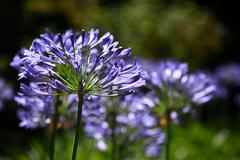 Blue flower of agapanthus africanus Stock Photos