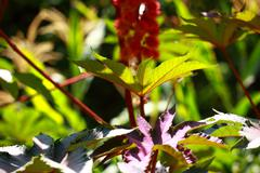 red leaf of castor oil plant, selective focus - stock photo