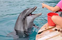 Ruokinta delfiinit Kuvituskuvat