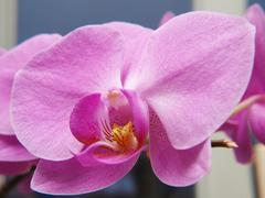 phalaenopsis orchid, with yellow tongue - stock photo