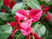 Stock Photo of bougainvillea flower