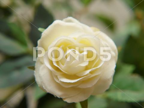 Stock photo of white rose