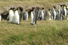 Parque pinguino rey - king penguin park on tierra del fuego Stock Photos