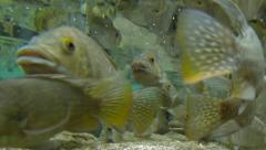Fish feeding frenzy swim and eat underwater in fresh water river HD time lapse Stock Footage