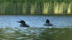 Adult loons with chick swimming at sunset Stock Footage
