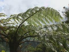 Tree fern in temporate rainforest Stock Footage