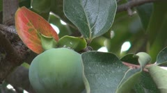 Green Persimmons (Kaki) Stock Footage