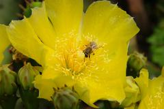yellow Flower blossom opuntia cactus with bee harvesting pollen - stock photo