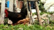 Big black rooster and hen searching for food on the ground Stock Footage