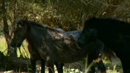 Herd of horses on the pastures Stock Footage