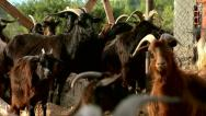 Domestic goats in a fenced area on the farm Stock Footage