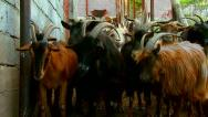 Stock Video Footage of Goats at the entrance to the barn
