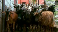 Domestic goats on a farm Stock Footage