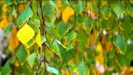Stock Video Footage of Leaves on branches - beginning of autumn