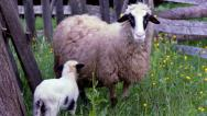 Stock Video Footage of Baby Lamb and Sheep