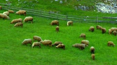 Sheep graze on the mountain pastures - stock footage
