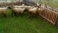 Stock Video Footage of Sheep in a fenced area