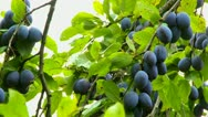 Ripe plums hanging on a branch Stock Footage