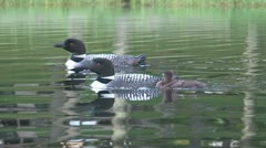 Adult loons swimming with chick Stock Footage