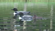 Stock Video Footage of Adult loons swimming with chick
