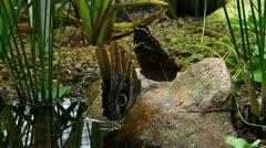 Active Owl Butterfly opening closing wing Tropical rainforest Stock Footage