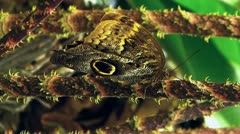 Active motion Owl Butterfly opening closing wing Tropical rainforest Stock Footage