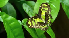 Malachite Butterfly struggling to stay on before it die - stock footage