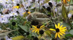 House sparrow (Passer domesticus) and cone flower (Rudbeckia fulgida) Stock Footage