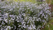 Stock Video Footage of Michaelmas daisy (Aster novi-belgii 'Brigitte')