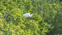 Tropical Bird in Foliage. Stock Footage