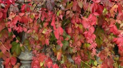 Virginia creeper (Parthenocissus quinquefolia) Stock Footage