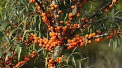 Sea buckthorn (Hippophae rhamnoides) Stock Footage