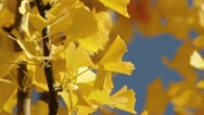 Stock Video Footage of Ginkgo (Ginkgo biloba)