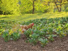 Closeup of a hen in a farmyard Stock Photos