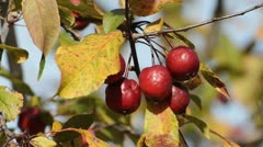 Japanese flowering crab apple (Malus floribunda) Stock Footage
