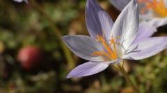 Autumn crocus (Crocus speciosus) Stock Footage