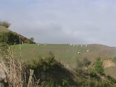 Sheep on pasture behind mist Stock Footage