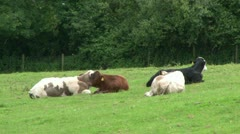 Mixed Cow Breeds Resting Stock Footage