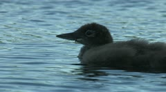 Loon chick swimming Stock Footage