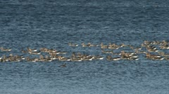 Greylag geese (Anser anser) at Guelper See Nature Reserve, Germany Stock Footage