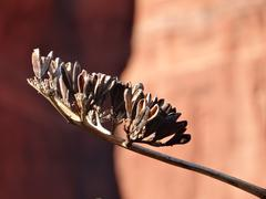 Details of Sedona-Agave Bloom - stock photo