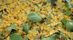 Ginkgo (Ginkgo biloba) and Bergenia Stock Footage