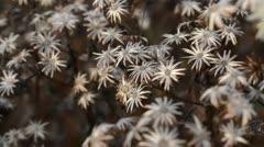 White wood aster (Aster divaricatus) Stock Footage