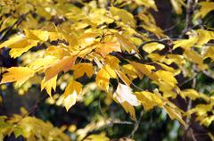 bright yellow autumn leaves  .. - stock photo